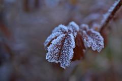 Frozen Leaves (pstenzel71) Tags: blätter natur pflanzen leaves frozen ice winter darktable bokeh