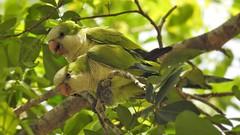 Caturrita - Monk Parakeet (sileneandrade10) Tags: sileneandrade pantanal periquito caturrita monkparakeet myiopsittamonachus psittacidae psittaciformes ave animal natureza pássaro verde nikon nikoncoolpixp900