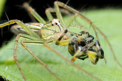 Oxyopidae.  Lynx spider. (David Ball.) Tags: oxyopidae lynx spider singapore canon270exii