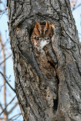 Eastern screech owl red phase Essex County Ontario Canada. (Mel Diotte) Tags: eastern screech owl wild nature raptor hunter red phase feathers bird tree hiding mel diotte explore