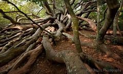 Van Riebeek's Hedge (Panorama Paul) Tags: paulbruinsphotography wwwpaulbruinscoza southafrica westerncape capetown kirstenboschbotanicalgardens wildalmondtree brabejumstellatifolium nikond800 nikkorlenses nikfilters