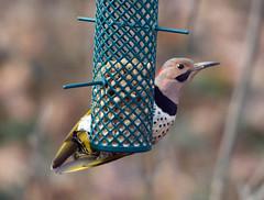Flicker (carpingdiem) Tags: birds winter indianapolis flicker feeder