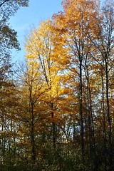 November's Gold... (Haytham M.) Tags: 50mm canont7i november fall autumn calm serenity beauty elegance canada ontario colourful gold wood woods forest plant outdoor outdoors nature tree trees