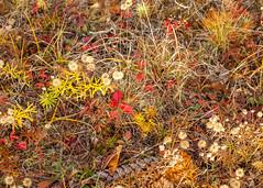Autumn Color (Me in ME) Tags: brunswick maine fall autumn colors vegetation flora