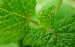 Feuilles de Menthe pour le vert d'un Virgin Mojito (Christian Chene Tahiti) Tags: samsung mobile gorbio menthe menrhepoivrée france plante vert feuille nature green bokeh macro