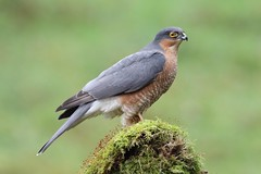 Male sparrowhawk (bilska.anna) Tags: