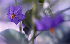 Flowers from eggplant (Hf-Photo) Tags: fuji nature nikonf3 filmshooters filmcommunity filmisreal filmisalive filmphotographer analoog analogfeatures analogue mygarden gardening epicgarden plantbased