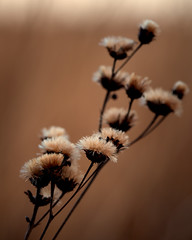 Wildflowers on the Prairie (mjhedge) Tags: buffalotraceprairie mahomet lakeofthewoods prairie wildflowers brown centralillinois champaigncounty getolympus omdem1mkii omd omdem1ii em1mkiiomdem1markii evening 12100mm 12100mmf4 mzuiko12100mmf4pro oly olympus flower