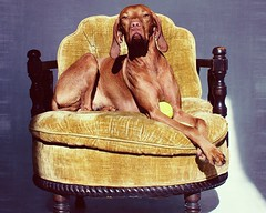 King (Dreaming Diva) Tags: friend dog puppy handsome distinguished throne chair mustard yellow blue ball play studio indoors indoor portrait home orange family