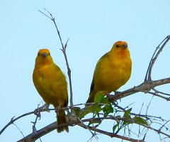 Saffron Finch Pair (hcwolford) Tags: saffronfinch finch saffron hawaii bird yellow