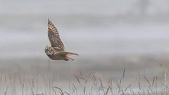 Short-eared Owl (Asio flammeus) (Tony Varela Photography) Tags: asioflammeus canon owl photographertonyvarela seow shortearedowl