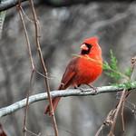 3969ex  Northern Cardinal thumbnail