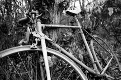 Bicycle (Pics from the Bird Cage) Tags: canon 35mm bw blackwhite argentique hp5 ilford ilfosol av1 outdoors sanwa ardrossan alberta film ishootfilm canonav1 sanwa28mmf28 classiccamera analog ardrossanalberta ilfosol3 ilfordhp5plus400 bulkfilm camera blackandwhite monochrome rain rainyday rainy bicycle