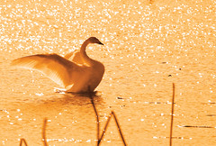 Swans #8 (daniel0027) Tags: bird swan flapitswings goldencolor ripple river cygnuscygnus tundraswan whooperswan water lotusstems light bokeh