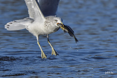 Gull with Fish (jt893x) Tags: 150600mm bif bird d500 fish gull jt893x nikon nikond500 sigma sigma150600mmf563dgoshsms thesunshinegroup coth alittlebeauty coth5