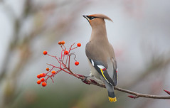 Waxwing (cogs2011) Tags: waxwing asda berries