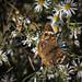 "feeding time (Paul"") Tags: butterfly lumberton lumbertonnc northcarolina"