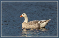 Domestic Goose (hey its k) Tags: 2018 birds cootesparadise domesticgoose goose hamilton nature princesspoint rbg ontario canada ca img8539e canon6d tamron 150600mm
