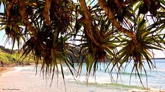 Pandanus tectorius var. australianus - Beach Pandan, Screw Pine, Flinders Park, Yamba, NSW (Black Diamond Images) Tags: pandanus pandanustectoriusvaraustralianus pandanustectorius pandanaceae arfp nswrfp qrfp littoralarf yamba marginalarfp nsw beachpandan screwpine cyrfp vinearf lowlandarf plant flinderspark