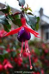 Hanging Fuchsia water Droplet. (Please follow my work.) Tags: plant plants flora artistic brilliantphoto brilliant colour england excellentphoto flickrcom flickr garden google googleimages gb greatbritain greatphotographers greatphoto house interesting ls27 mamfphotography mamf morley morleyleeds nikon nikond7100 northernengland onthestreet photography photo photograph photographer quality qualityphotograph sex autumn uk unitedkingdom westyorkshire water raindrop fuchsia hangingfuchsia