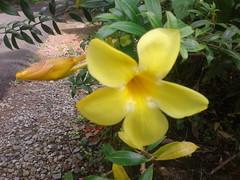 20181120_105349 (Suryadeeptham) Tags: allamandacathartica goldentrumpet familyapocynaceae yellow bud bloom leaves