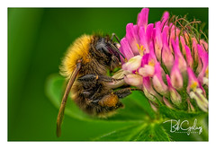 I'm getting to heavy for this (Bob Geilings) Tags: bumblebee flora flower macro closup insect bee green pink
