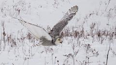 Robert Snowy Owl CRC IMG_3623 (Jennz World) Tags: ©jennifermlivick canadianraptorconservancy vittoria ontario canada snowyowl owl raptor winter snow