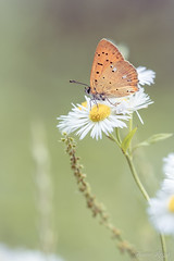 """""""Pause nectar"""" (regisfiacre) Tags: lycaena virgaureae cuivré verge or orange papillon butterfly schmetterling farfalle insect insecte insekt bug bugs ailes wings nature sauvage wild wildlife macro macrophoto macrophotography macrophotographie canon 5div mark iv 4 plein format full frame sigma 150mm apo ex dg os hsm moselle france eté summer sommer"""