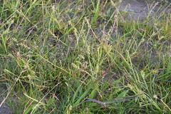 Cenchrus incertus (esta_ahi) Tags: castelldefels platja playa flora plantas cenchrus incertus cenchrusincertus poaceae gramineae frutos espinas espinosos baixllobregat barcelona spain españa испания