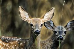Spotted fawns in the shadows (Brown Acres Mark) Tags: blacktaileddeer odocoileushemionuscolumbianus howardprairielake cascademountains jacksoncounty oregon usa markheatherington