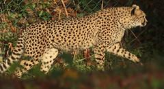 cheetah Burgerszoo 094A0245 (j.a.kok) Tags: cheetah jachtluipaard animal cat kat predator acinonyxjubatus acinonyxjubates mammal zoogdier dier africa afrika burgerszoo burgerzoo