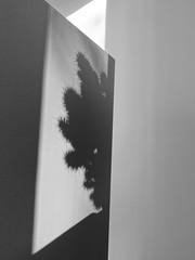 DSC02963 (McMunich) Tags: mcmunich munich münchen germany schwarz weiss black white bw cactus shadow