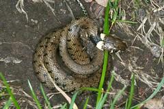 Natrix helvetica (= Natrix natrix auct.), the grass snake, la couleuvre helvétique, la couleuvre à collier. (chug14) Tags: