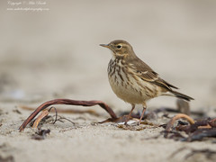 Buff-bellied Pipit (Anthus rubescens) (www.mikebarthphotography.com 2M Views thanks !) Tags: anthusrubescens buffbelliedpipit
