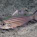 Intermediate Cardinalfish - Cheilodipterus intermedius