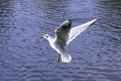 Mouette rieuse Chroicocephalus ridibundus (Ezzo33) Tags: mouetterieuse chroicocephalusridibundus france gironde nouvelleaquitaine bordeaux ezzo33 nammour ezzat sony rx10m3 parc jardin oiseau oiseaux bird birds specanimal