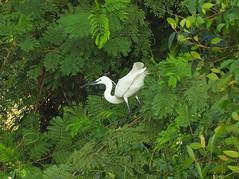 Little Egret (Birdwatcher18) Tags: littleegret egret birds birder birdwatching birding birdwatcher birdonbranch birdontree fauna jungle nature wader herons