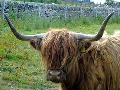 Happy New Year (stuartcroy) Tags: orkney island cow