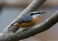 Red-breasted Nuthatch (Chuck Hantis) Tags: