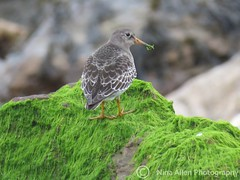 Purple Sandpiper, suffolk on new yrs eve (nina1688) Tags: purplesandpiper sandpiper suffolk onarock close beautiful bird birds eastanglia suffolkcoast naturephotography naturephotograph photograph wildlifephotograph birdphotography photography birdphotograph birdphotographer naturephotographer wildlife wildbird suffolkwildlifetrust nature lovenature britishbirdmigrant winter newyearseve 31stdecember waterbird shorebird