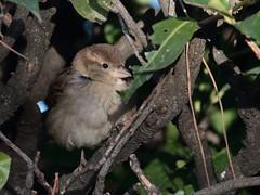 Passera d'Italia (passer italiae) (Paolo Bertini) Tags: passera italiae italian sparrow italia passer verona peschiera birdwatching birding female femmina birds garda