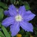 鐵線蓮 Clematis Beauty Of Worcester [奧克蘭  Eden Garden, Auckland]