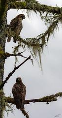 Stop & Stare (esimagecapture) Tags: stare stop red tail hawk tree sky moss washington refuge nikon d7200 ericsteele photography juliabutlerhansen wildlifereserve naturereserve bird birds cathlamet