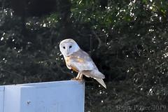 Barn Owl (Barry Potter (EdenMedia)) Tags: barrypotter edenmedia nikon d7200 barnowl