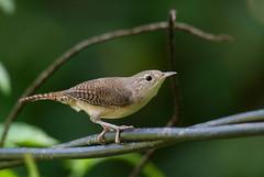 Troglodytes aedon (mazama973) Tags: bird oiseau frenchguiana guyane guyanefrançaise troglodytidae troglodytesaedon triglodytefamilier housewren