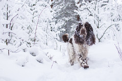 Muikku (Veden valamia 2.0) Tags: english springer spaniel winter snow