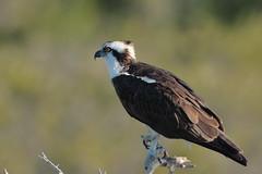 Osprey (Hammerchewer) Tags: osprey bird raptor wildlife outdoor