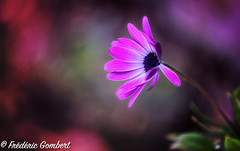 Hello Pink (frederic.gombert) Tags: light color cool pink red purple macro plant bloom blossom winter spring nikon
