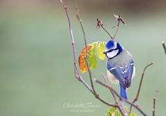 Bluetit searching for greenfly (charlottejarvis@live.co.uk) Tags: marlow bucks england uk garden gardenbirds bluetit