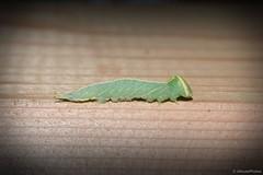 Mottled Prominent moth caterpillar (Macrurocampa marthesia) (JHousePhotos) Tags: arkansas moths caterpillars notodontidae